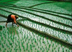 rice_cultivation_iran